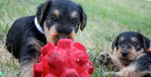 puppy-dog-training-mornington-peninsula