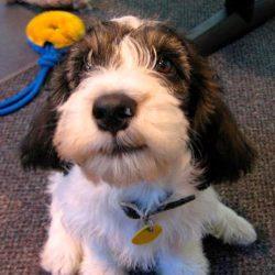 pbgv puppy