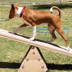 Agility-Basics!-mornington-peninsula-paw-behaviour
