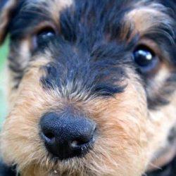 junior-puppies-mornington-peninsula-paw-behaviour